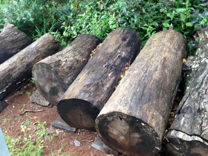 Silky Oak logs
